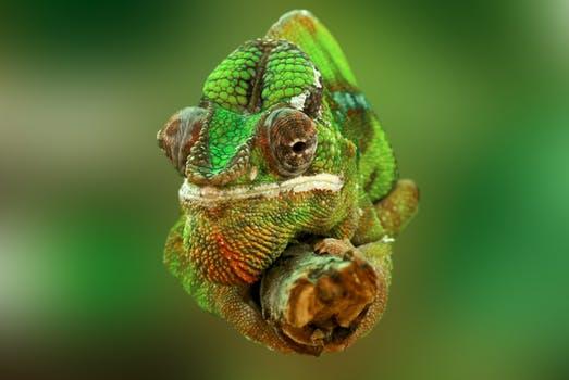 chameleon-reptile-lizard-green-45868