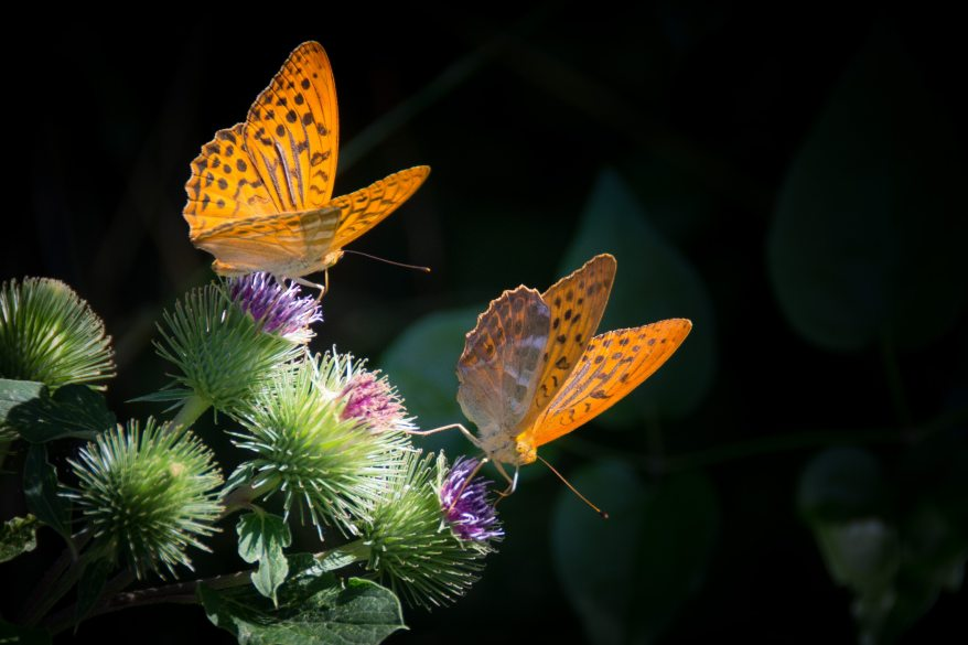 nature-orange-butterfly-silver-bordered-fritillary-33073.jpg