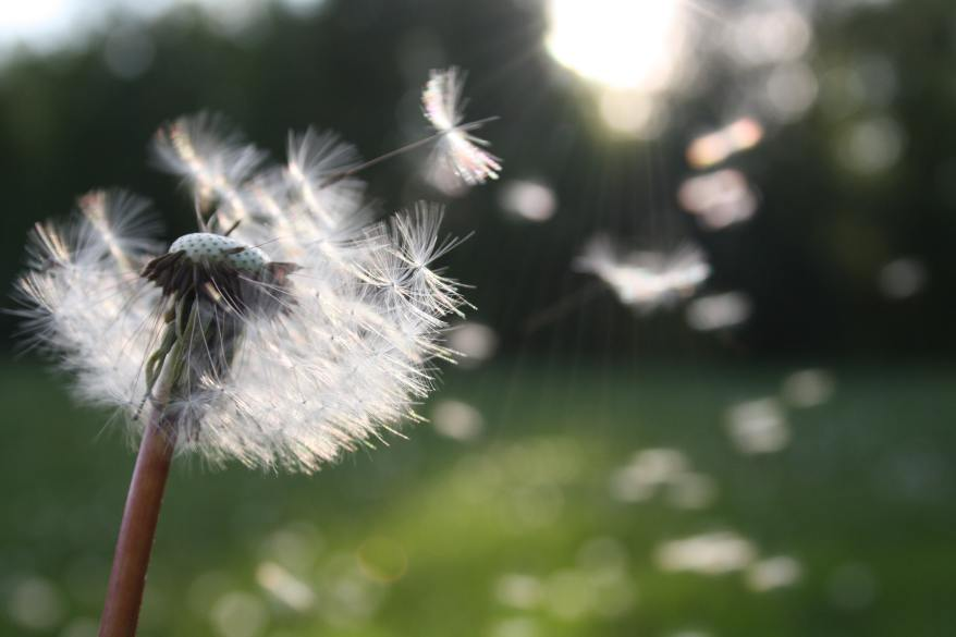 dandelion-nature-sunlight-54300