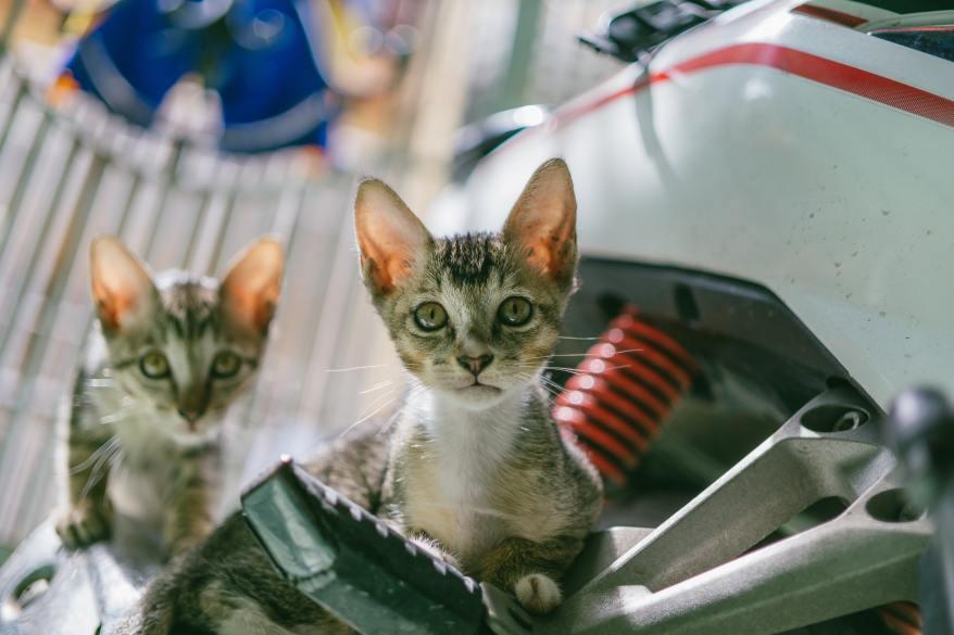 brown-tabby-cat-677814